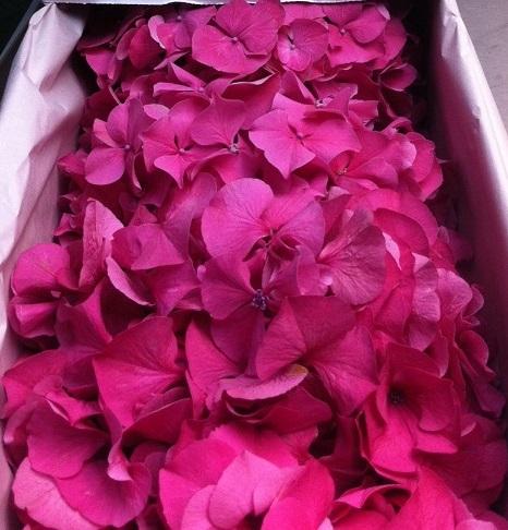 Hydrangea LGE Pink